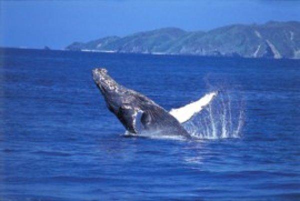 【那覇発】ホエールウォッチングツアー AM9時発!クジラガイドが同乗・ガイドブックプレゼント