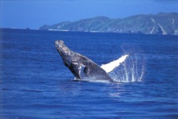 【那覇発】ホエールウォッチングツアー PM13:30発!クジラガイドが同乗・ガイドブックプレゼント
